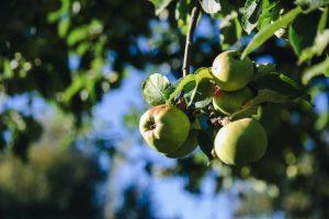 Appetit auf Apfel machen - Grüne Woche