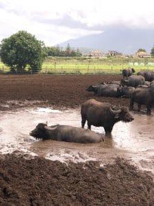 Büffel-Bild Herde