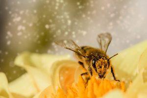 Bessere Erdbeeren dank Bienenbestäubung