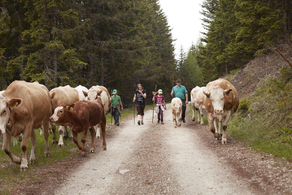 Der beschwerliche Weg der Alm-Rinder - Transgourmet Ursprung