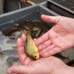 Forelle - Fischzucht Reese