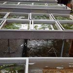 Fischaufzuchtstationen - Fischzucht Reese
