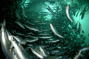 Der Lachs wird Vegetarier - Atlantic salmons (Salmo salar) in a fishfarm. Ryfylke, Norway.