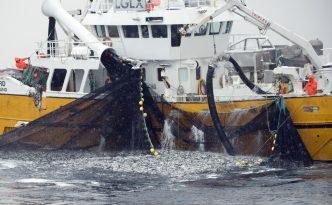 Deutschland geht der Fisch aus - Fishing for spring spawning herring (Clupea harengus), Moere coastline, Norway, February 2009