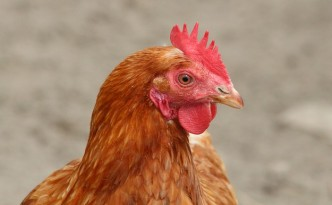 GREEN CHEFS: Geflügel-Charta soll Tierwohl sichern