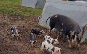 Im Schweineparadies auf Knuthenlund