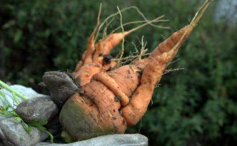 Krumme Karotte - Ja zu normlosen Bio-Helden