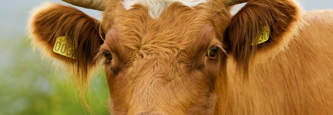 Kuh Fleischkonsum - GREEN CHEFS