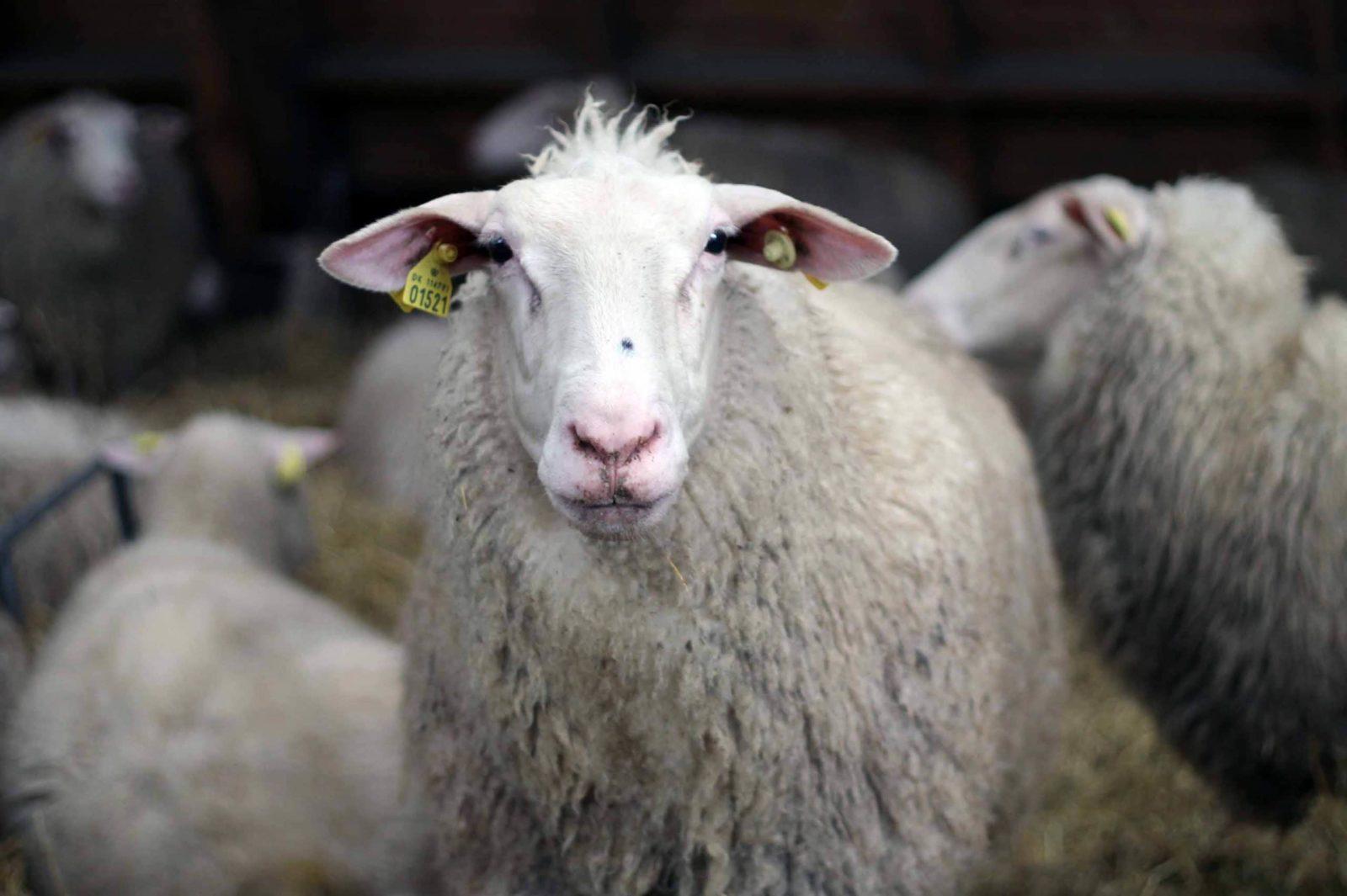 Schaf auf Knuthenlund