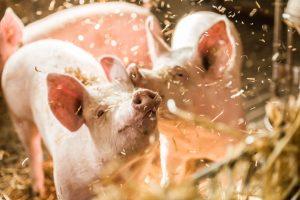 Schweine leben anch 1-Stern Tierschutzlabel des Deutschen Tierschutzbundes