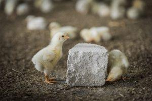 Von Hahn und Henne - nachhaltige Hühner-Zucht
