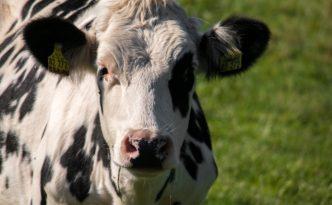 Kuh - Milchvertrieb ab Hof