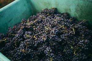 Weingut im Zwölberich - Weinlese